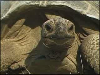 塞舌尔:      Aldabra giant tortoise