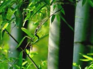 Henan:  China:      Bamboo Forest of Yuntai Mountan