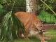 Большие кошки в Гаторленде