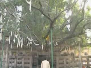 Bihar:  India:      Bodhi Tree