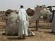 Ярмарка верблюдов в Эр-Рияде