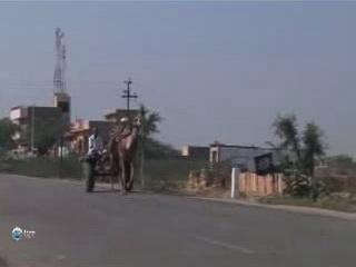 烏代浦:  拉贾斯坦邦:  印度:      Camel in the Thar Desert