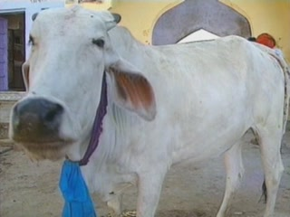 صور Cattle in religion ثقافة