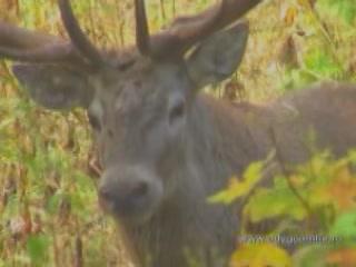 Respublika Adygeya:  ロシア:      Deer in Adygea