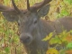 Deer in Adygea