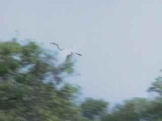 Гоа, штат:  Индия:      Белые цапли в Гоа