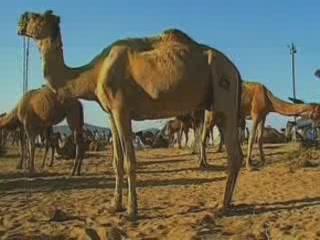 Pushkar:  ラージャスターン州:  インド:      Camel Fair in Pushkar