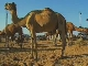 Camel Fair in Pushkar (インド)