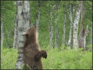 Камчатская область:  Россия:      Камчатский бурый медведь