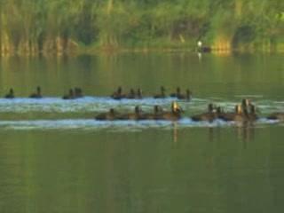 ブルンジ:      Waterfawl in Burundi