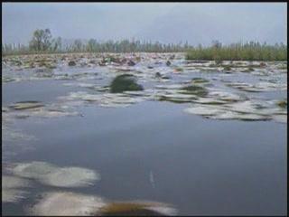 斯利那加:  查谟-喀什米尔邦:  印度:      Lotus valley in Srinagar