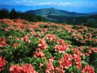 松本市:  日本:      Matsumoto Flowers