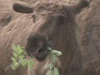 Sweden:      Moose Garden