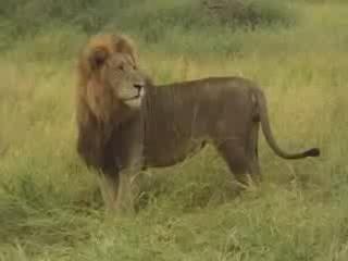 リシンガ:  モザンビーク:      Niassa Reserve