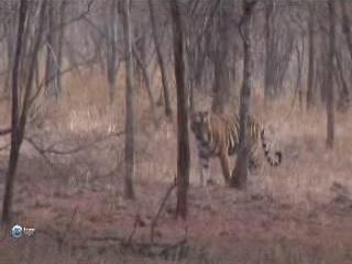 Раджастхан:  Индия:      Национальный парк Рантамбор