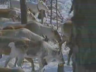 Images Reindeer Breeding animals