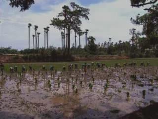 Керала:  Индия:      Рисовые плантации Керала