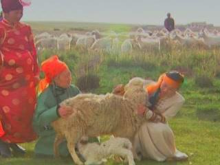 Inner Mongolia:  China:      Sheep Breeding