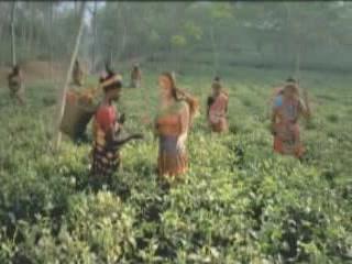 バングラデシュ:      Tea plantations in Bangladesh