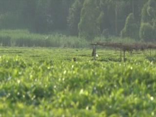Rwanda:      Tea plantations in Rwanda
