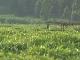 Чайные плантации в Руанде