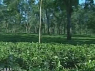 Assam:  India:  