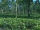Tea plantations of Assam (الهند)