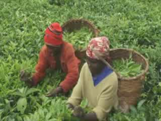 写真 Tea production in Rwanda 社会