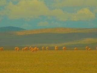 青海省:  中国:      藏羚羊