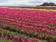 Tulips of Tasmania