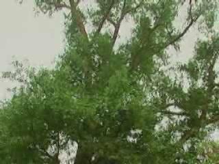 Zhangjiajie:  China:      Zhangjiajie ginkgo tree