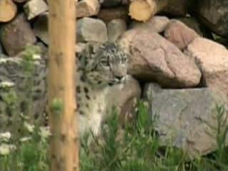 Kyrgyzstan:      Snow leopard