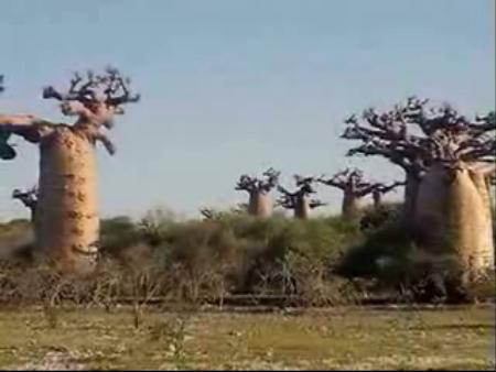 マダガスカル:      Madagascar, baobabs
