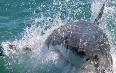 Gansbaai, Shark Cage Diving 写真