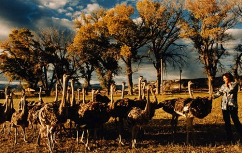 On the territory of South Africa there are more than 40 ostrich farms, the most popular of which are «Safari» and «Highgate». Here one can observe ostriches of different ages and buy souvenirs of ostrich leather and feathers, eggs