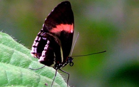 In Mariposario, Mindo there is an opportunity to observe all stages of development of butterflies - from dolls to beautiful creatures
