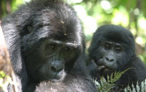 The main attraction of the Mugahinga Gorilla National Park are mountain gorillas. Gorilla trekking - the most exciting and unforgettable trip through dense African jungle