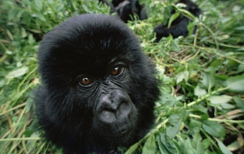 There are two national parks in Rwanda, where endangered species of animals can be found in natural environment. The most rare are mountain gorilla, chimpanzee and bonobo