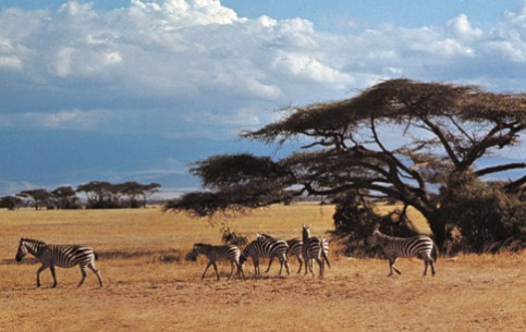 Serengeti National Park is a pride of Kenya. At its endless plains can be found more than 500 varieties of birds and 35 species of animals