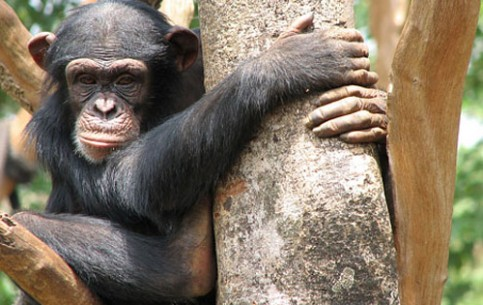 In the Tacugama Chimpanzee Sanctuary tourists can observe life of these amazing anthropoid apes