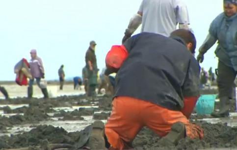 Alaska:  United States:      Alaska clam harvest