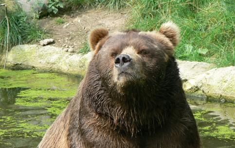 Аляска:  Соединённые Штаты Америки:      Медведи Кадьяк