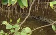 Daintree River Crocodiles Images