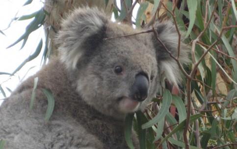 Австралия:      Заповедник коал
