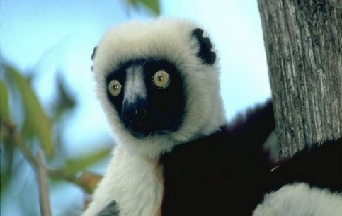 马达加斯加:      Madagascar fauna