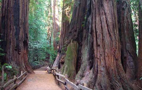 加利福尼亚州:  美国:      Muir Woods National Monument