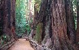 Muir Woods National Monument Images