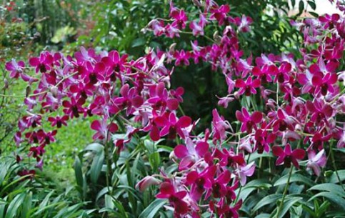 Singapore:      National Orchid Garden