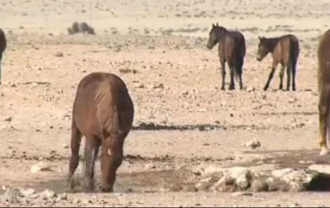 Aus:  Karas Region:  Namibia:      Wild Horses outside Aus
